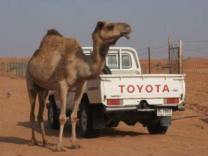 Maroc, Tunisie, Turquie, camel, chameau, Assurance chameau désert en Afrique